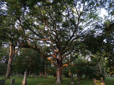 Mount Pleasant Cemtery trees